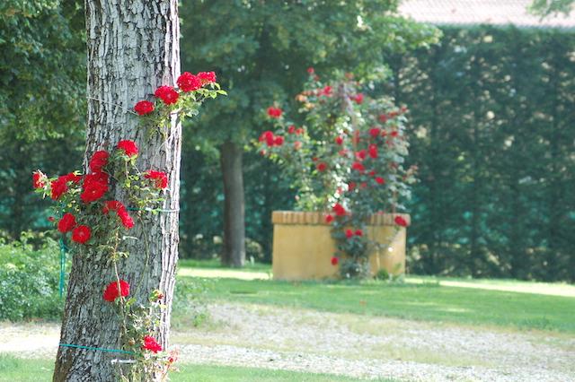 Rose A Padova Casa Tormene 0416