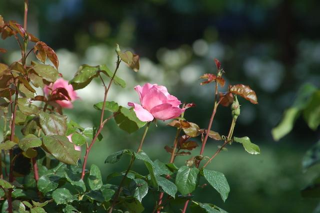 Rose A Padova Casa Tormene 0425