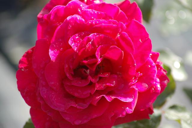 Rose A Padova Casa Tormene 0441