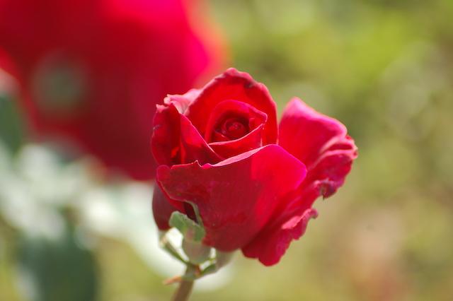 Rose A Padova Casa Tormene 0442