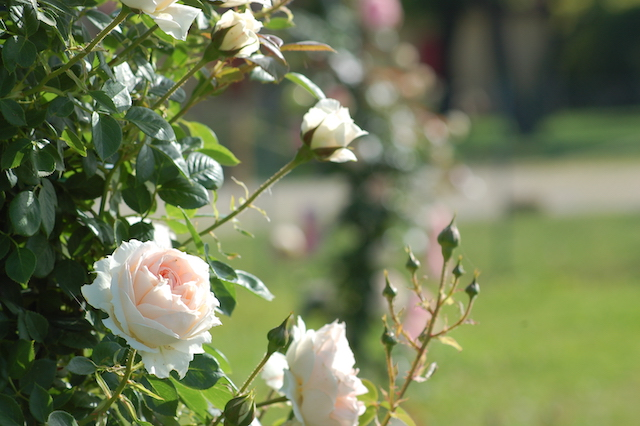 Rose A Padova Casa Tormene 0444