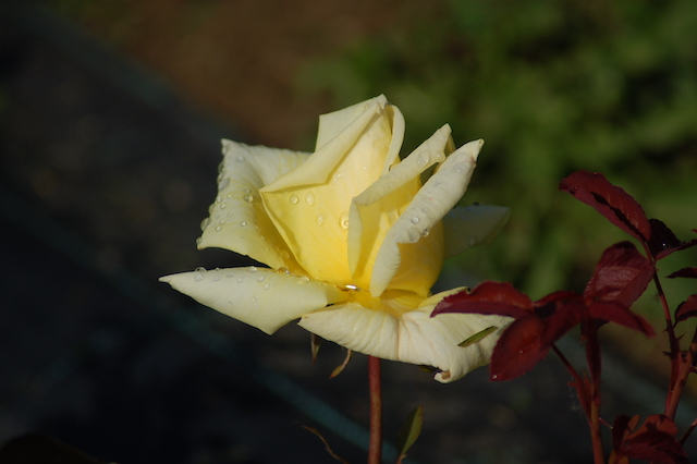 Rose A Padova Casa Tormene 0493