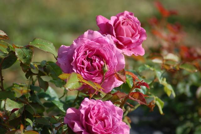 Rose A Padova Casa Tormene 0501