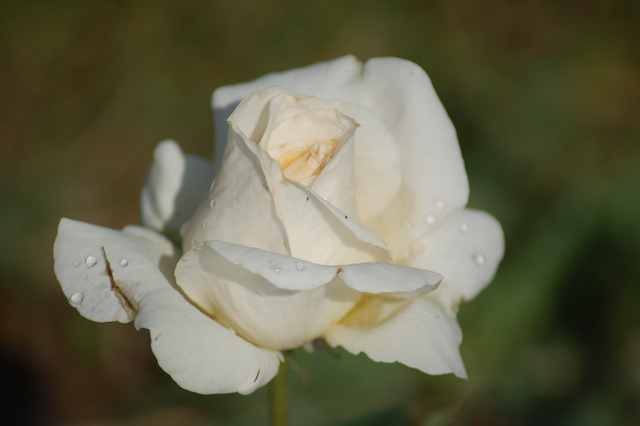 Rose A Padova Casa Tormene 0506
