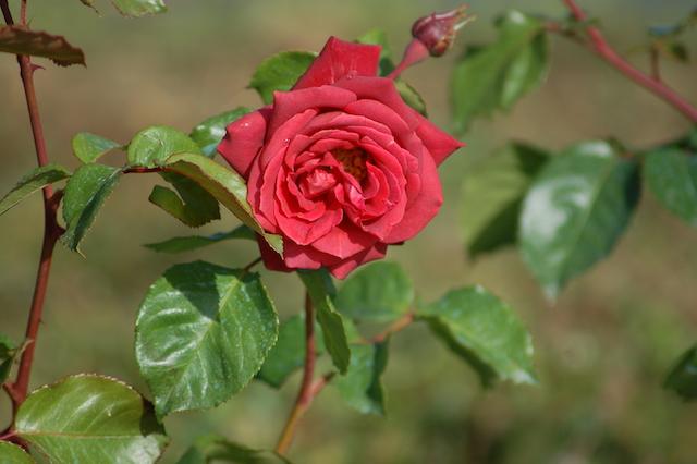 Rose A Padova Casa Tormene 0507