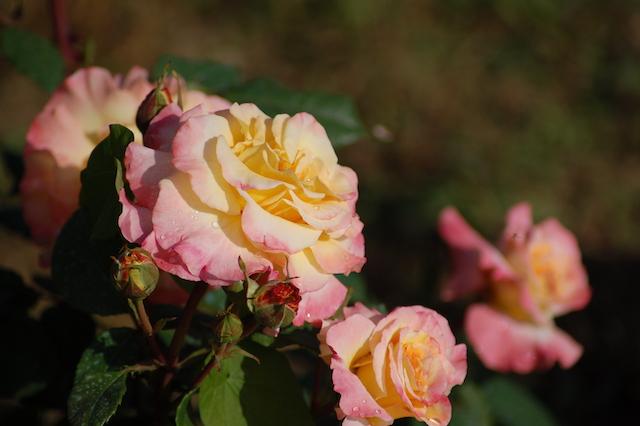 Rose A Padova Casa Tormene 0511