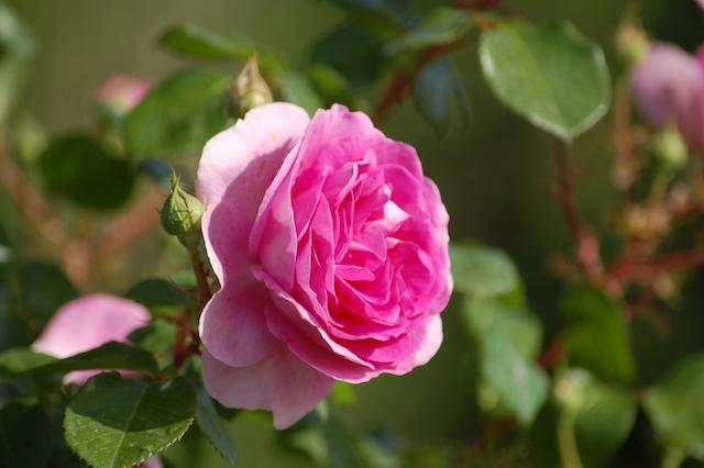 Rose A Padova Casa Tormene 0520