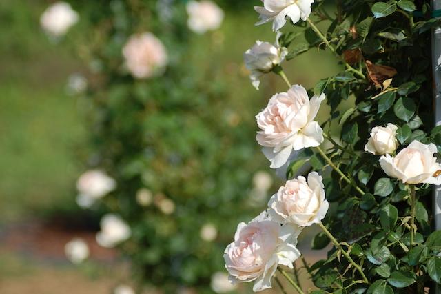 Rose A Padova Casa Tormene 0523
